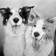 Doppelportrait Border Collies